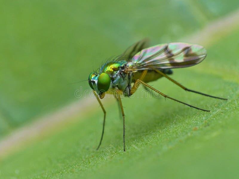 Lange mit Beinen versehene Fliege auf einem Blatt 2 lizenzfreie stockfotografie