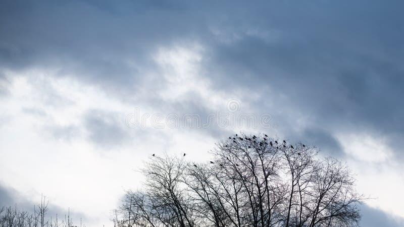 Lange naakte boom met vele kraaien die op takken zitten stock foto