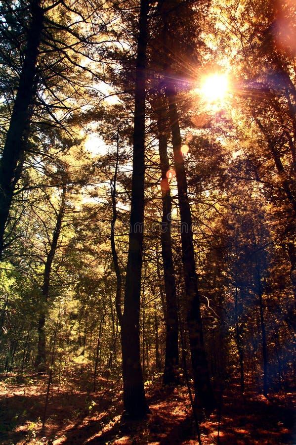 Lange Pijnbomen royalty-vrije stock afbeeldingen