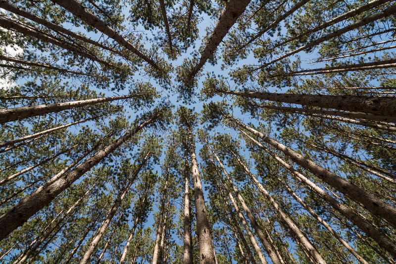 Lange Pijnbomen stock fotografie