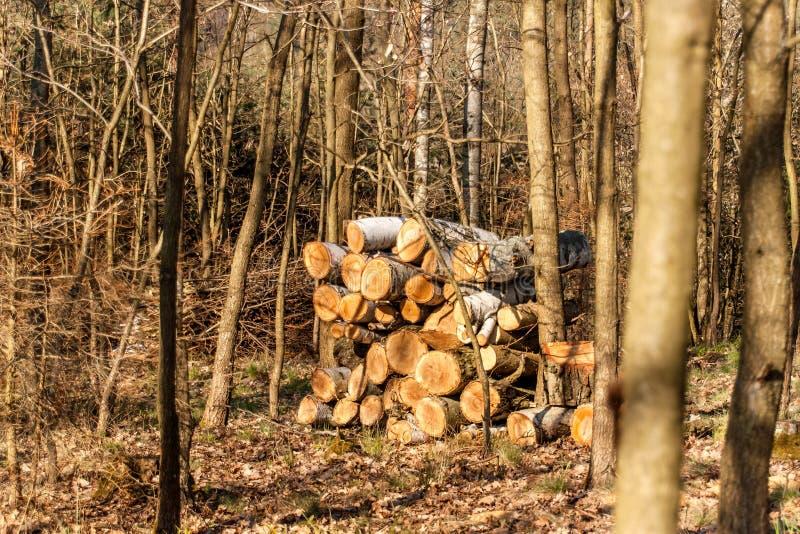 Lange pijnboom op de rand van het bos Gemengde boslandschap in de Tsjechische Republiek royalty-vrije stock afbeelding