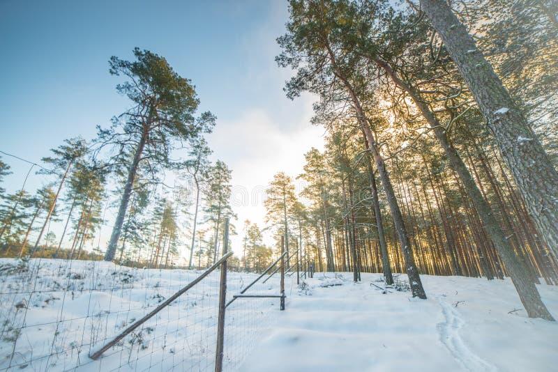 Lange pijnboombomen in de winterzonlicht royalty-vrije stock afbeelding
