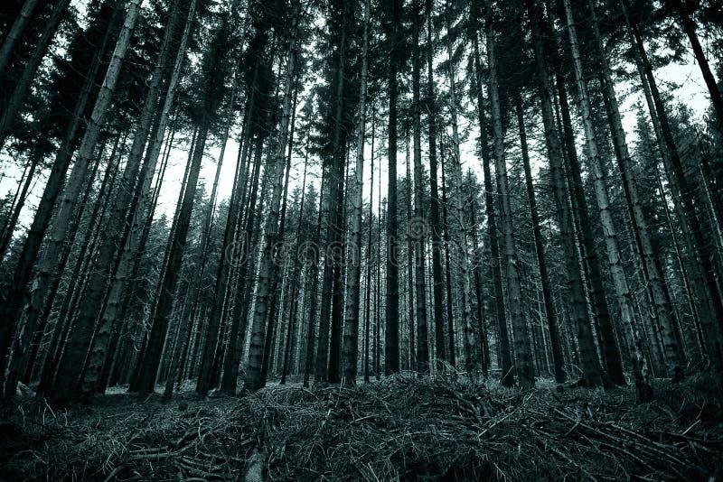 Lange pijnboombomen in het zwart-witte bos stock foto