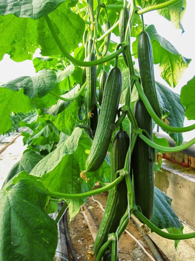 Lange Reihen von den Gurkenreben, zum vertikal im Gewächshaus zu wachsen stockfotografie