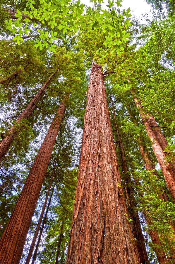 Lange Reuzecalifornische sequoiabomen in Bos royalty-vrije stock afbeeldingen