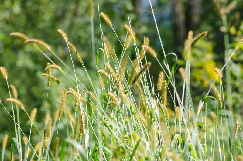 Lange riet en grassen in een weide in de zomer stock foto
