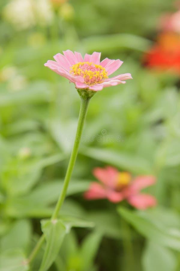 Lange Roze Zinnias royalty-vrije stock fotografie