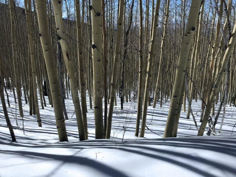 Lange schaduwen in Aspen Wood stock afbeeldingen