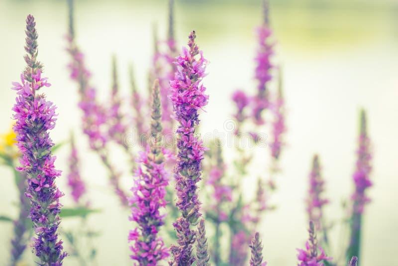 Lange smalle violette purpere bloemen bij meerrand stock foto's