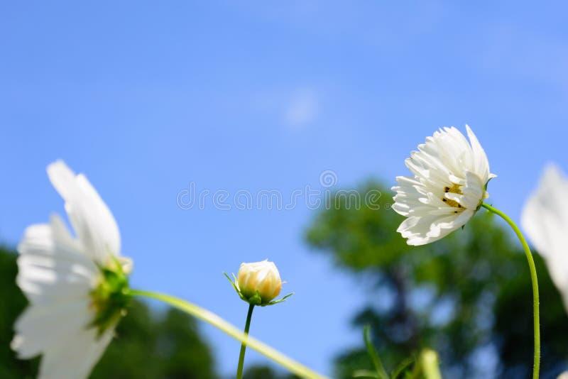 Lange Stamm-weiße Blumen-Herausragend-selektiver Fokus-Mitte lizenzfreie stockbilder