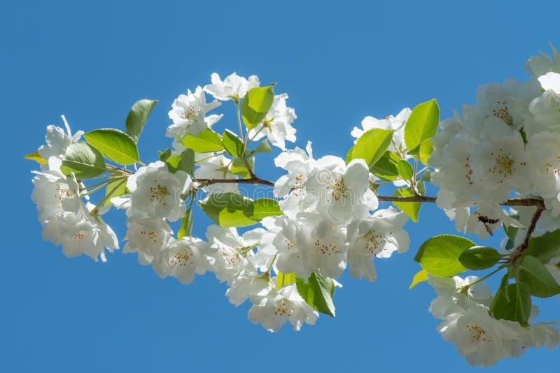 Lange tak van een witte crabappleboom stock foto