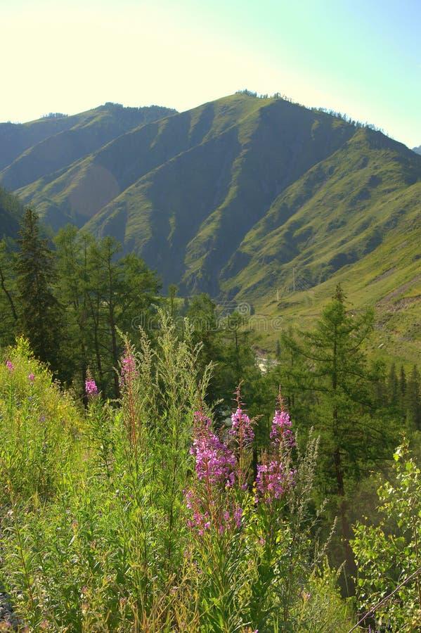 Lange violette bloemen op een gebied tegen een achtergrond van bergketens royalty-vrije stock afbeelding