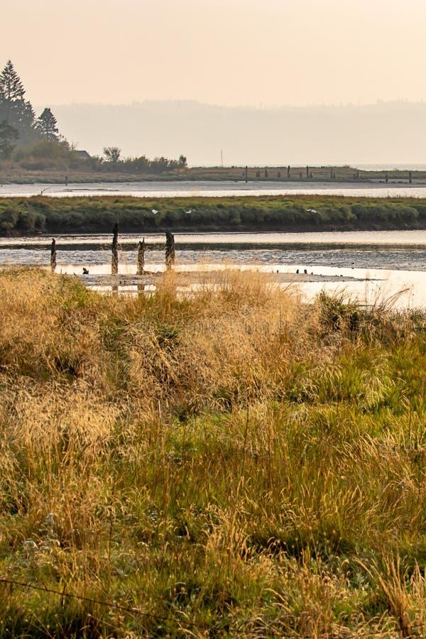 lange wilde grassen die in moerasland in augustus groeien royalty-vrije stock fotografie