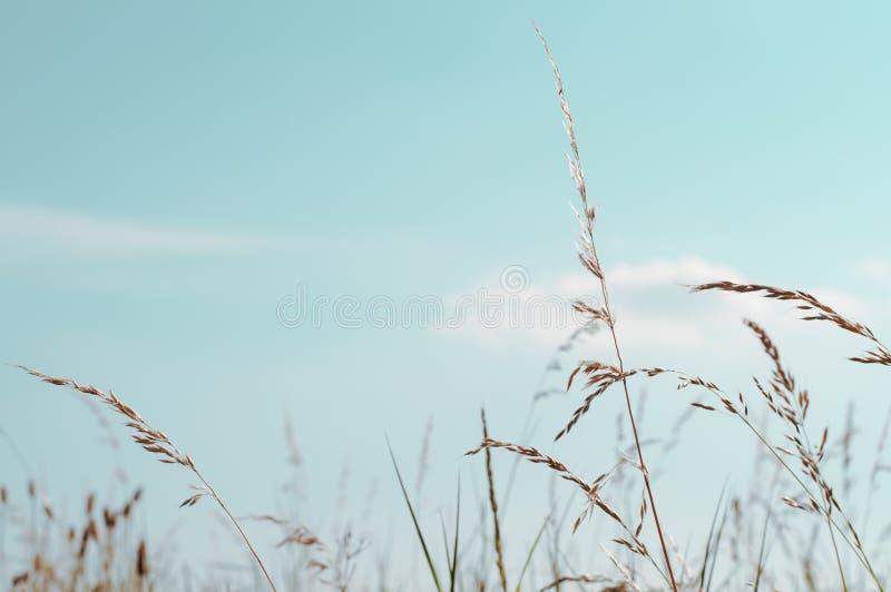 Lange Wilde Grassen onder Aqua Blue-hemel in Zomer stock afbeeldingen