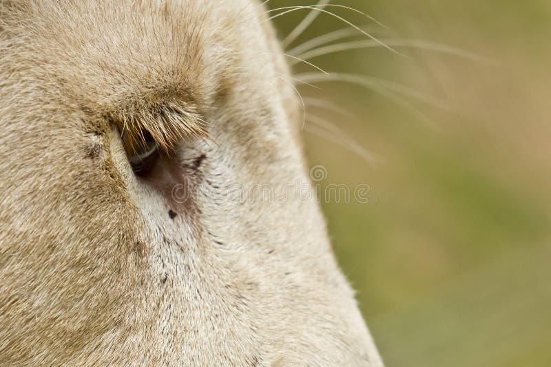 Lange Wimpern der weißen Löwen stockfotos