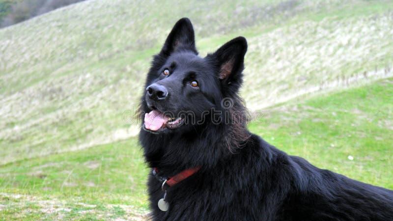 Langer überzogener junger schwarzer Schäferhundhund stockfotos