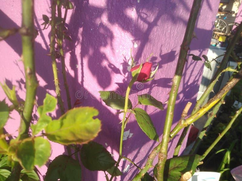 langer Stamm der Rosen auf Busch lizenzfreies stockfoto