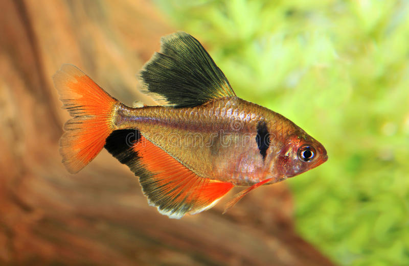 Langes geripptes rotes geringes Tetra- in einem Aquarium stockfoto