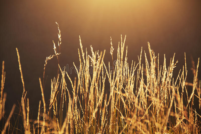 Langes Gras bei Sonnenuntergang stockfotos