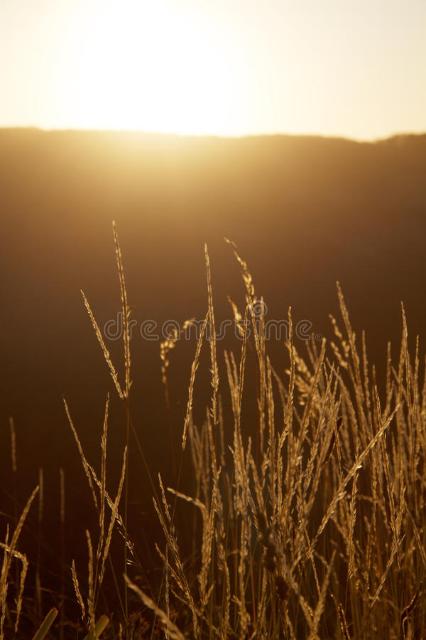 Langes Gras bei Sonnenuntergang lizenzfreies stockbild
