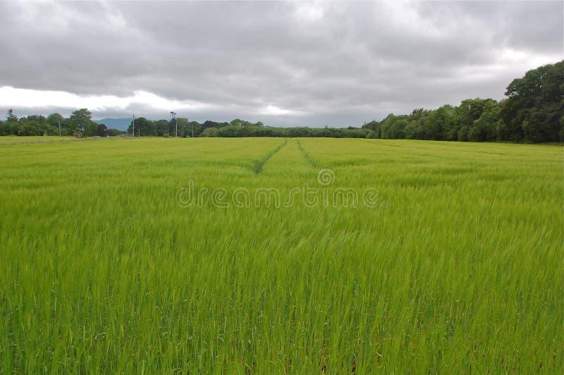 Langes Gras, das in Irland wellenartig bewegt lizenzfreie stockfotos