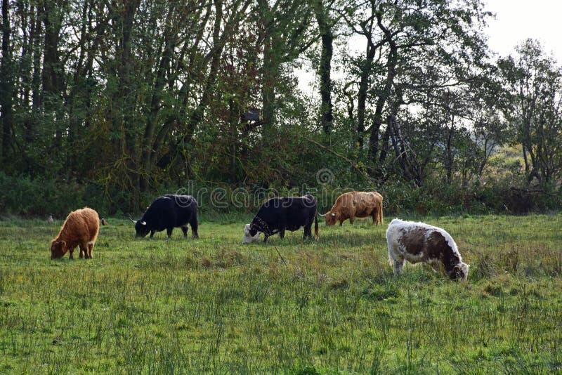 Langhörniges Vieh, Strumpshaw-Fenn, Norfolk, England stockfoto