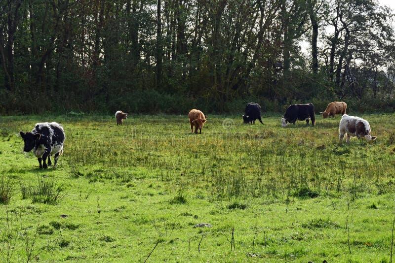 Langhörniges Vieh, Strumpshaw-Fenn, Norfolk, England lizenzfreies stockbild