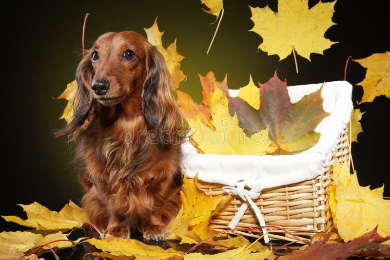 Langhaardackel im Herbstlaub lizenzfreie stockbilder