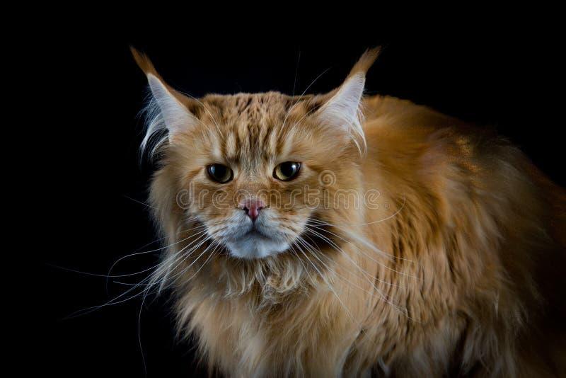 Langhaarige braune Katze, die in camera schaut stockfotografie