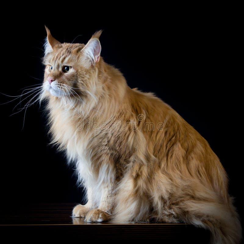 Langhaarige braune Katze, die eine Seite schaut lizenzfreie stockbilder
