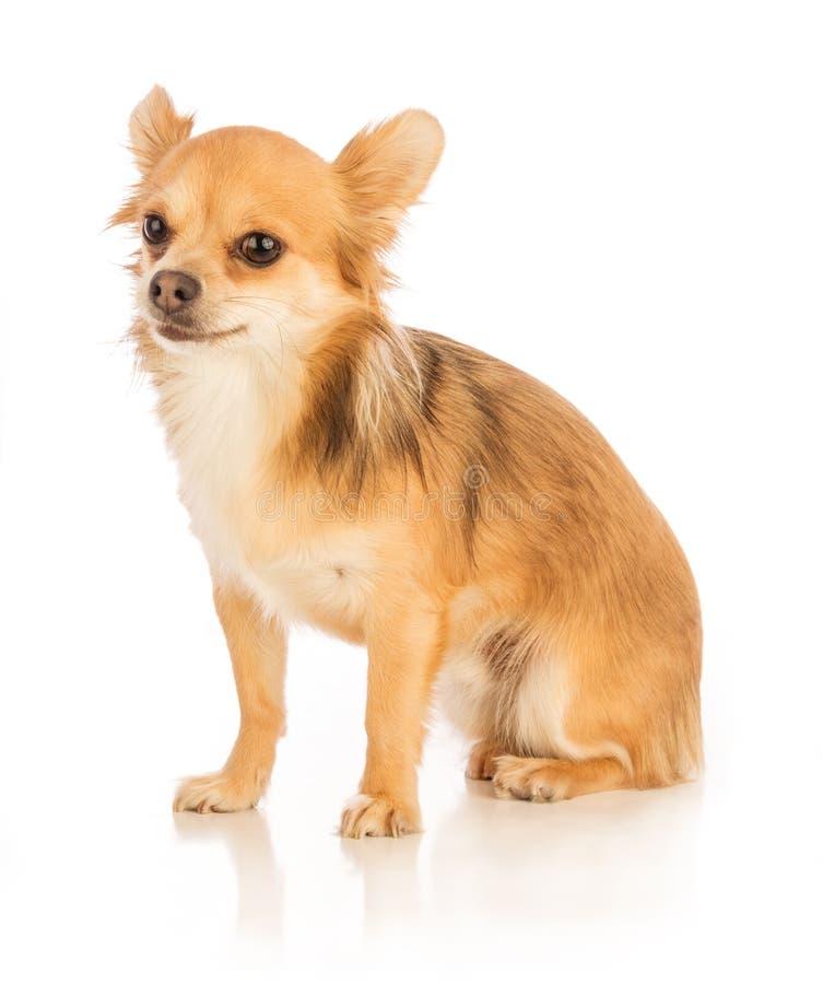 Langhaarige Chihuahua eingelassen einer Atelieraufnahme lizenzfreies stockfoto
