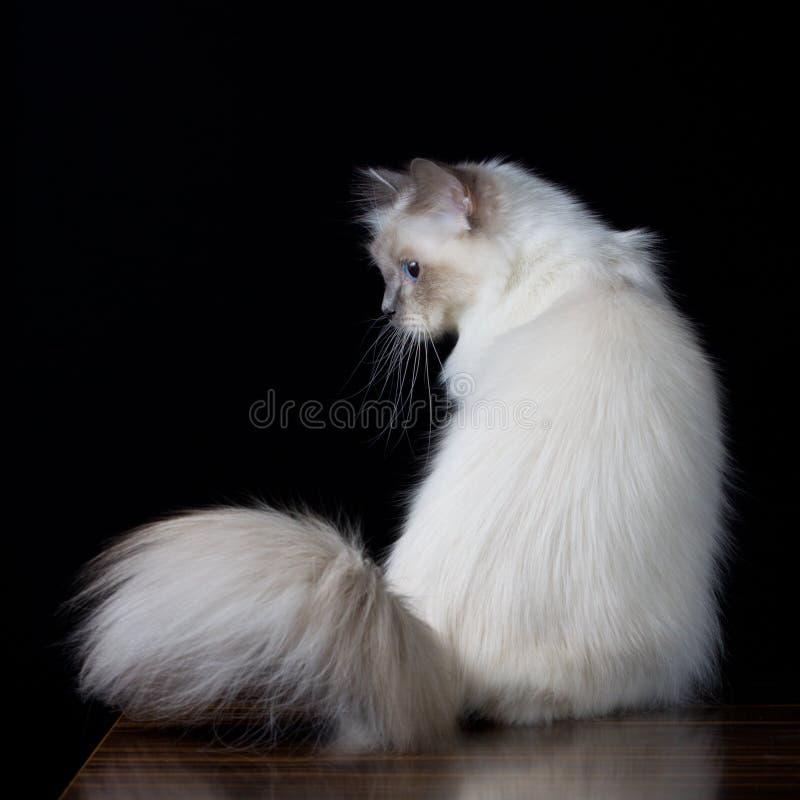 Langhaarige Katze des grauen Weiß mit blauen Augen lizenzfreies stockbild