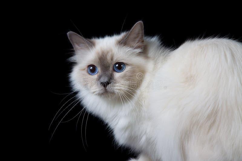 Langhaarige Katze des grauen Weiß mit blauen Augen stockbild