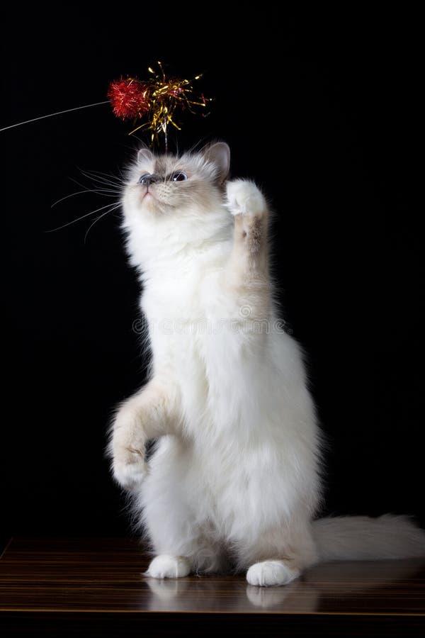 Langhaarige Katze des grauen Weiß mit dem Spielen der blauen Augen stockbilder