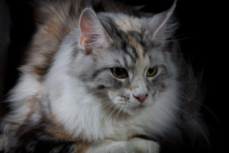 Langhaarige Katze, die unten schaut lizenzfreies stockfoto