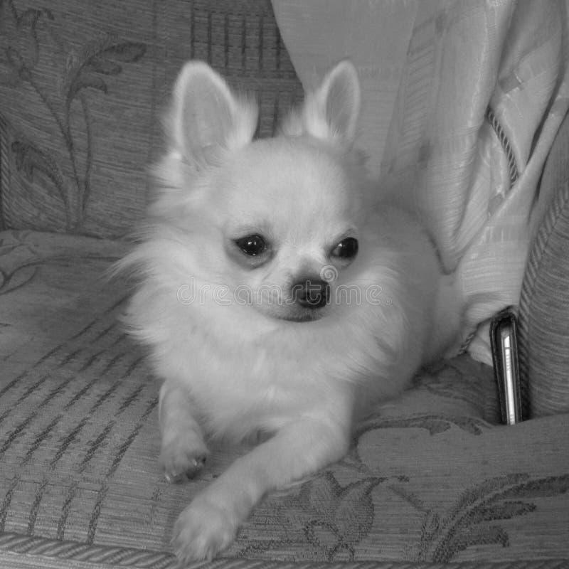 Langhaarige weiße Teetasse-Chihuahua lizenzfreie stockbilder