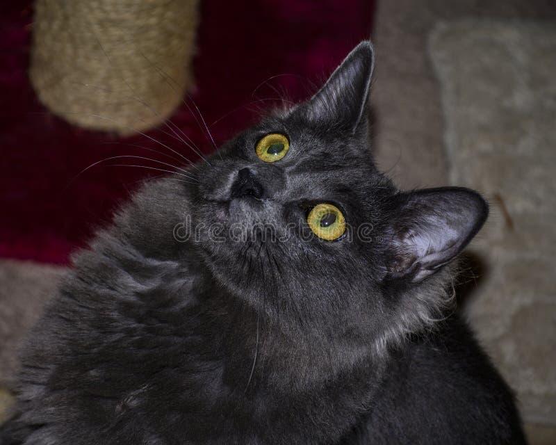 Langhaariger Gray Cat Looking Up Inside stockfotografie