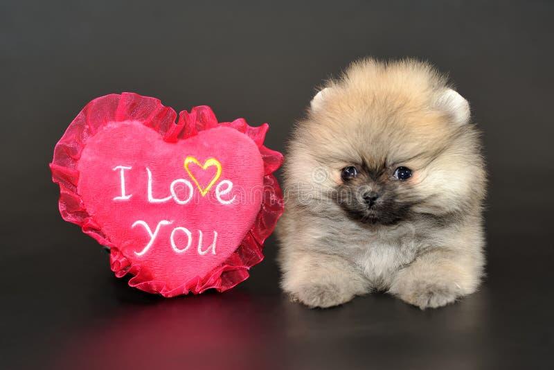 Langhaariger Pomeranian-Spitzwelpe lizenzfreie stockbilder