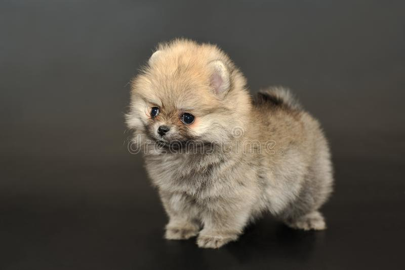 Langhaariger Pomeranian-Spitzwelpe stockfotografie
