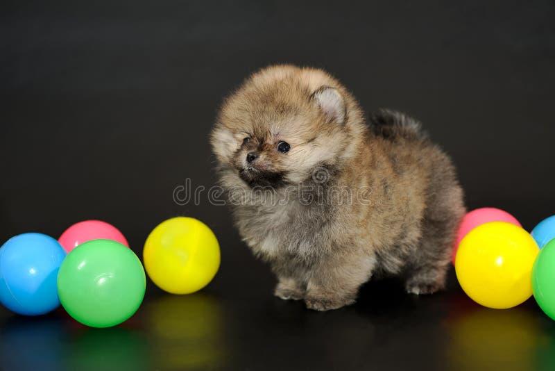 Langhaariger Pomeranian-Spitzwelpe stockbild