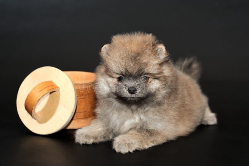 Langhaariger Pomeranian-Spitzwelpe stockbilder