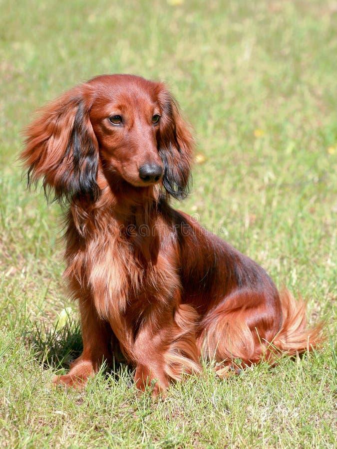 Langhaariger roter Standardhund des Dachshunds lizenzfreies stockfoto