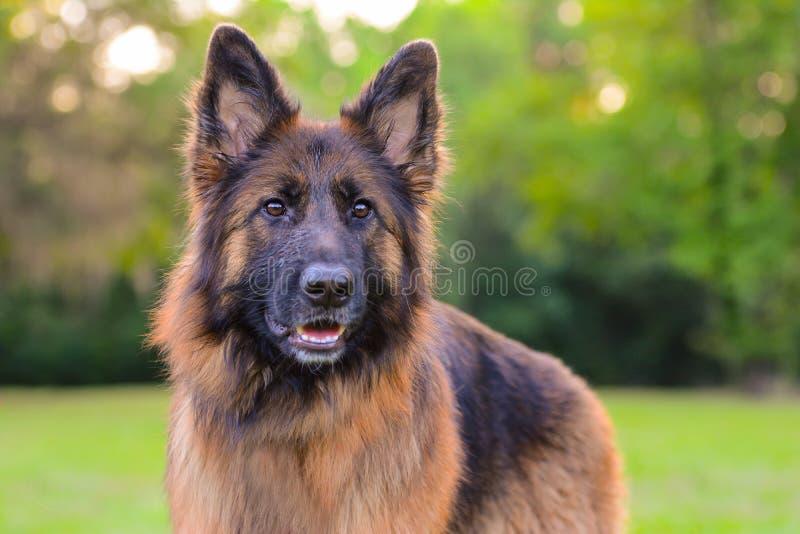 Langhaariger roter und schwarzer Schäferhund stockbilder