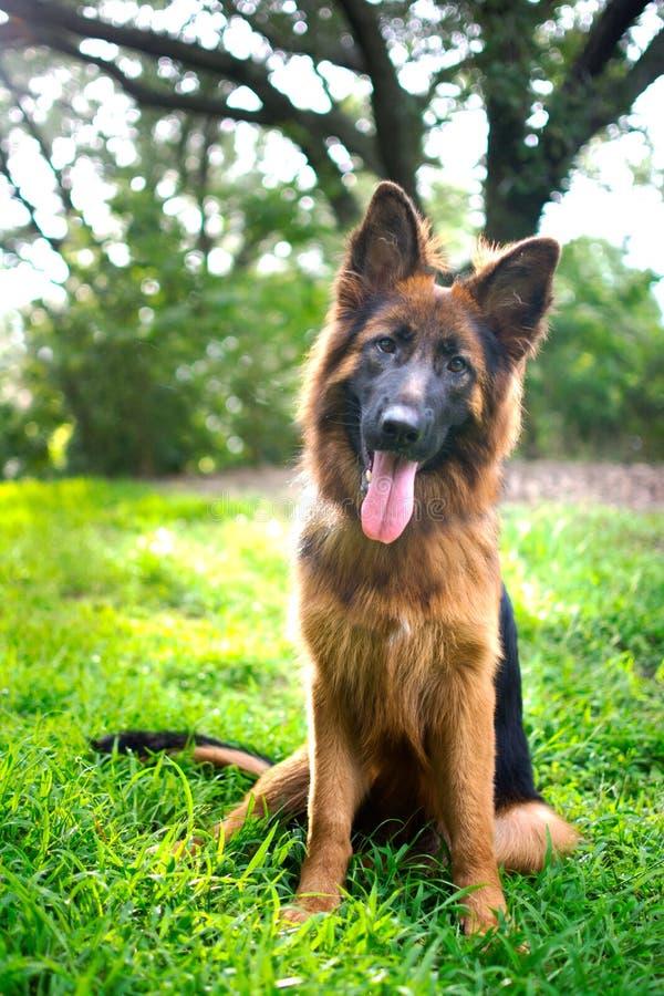 Langhaariger roter und schwarzer Schäferhund verfolgen draußen lizenzfreie stockfotografie