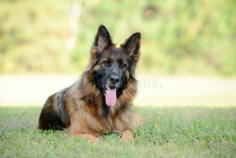 Langhaariger roter und schwarzer Schäferhundhund stockfotos