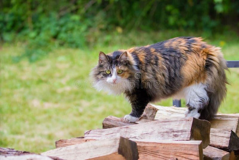 Langhaariges Kaliko-Haus Cat Standing auf hölzernem Stapel lizenzfreies stockfoto
