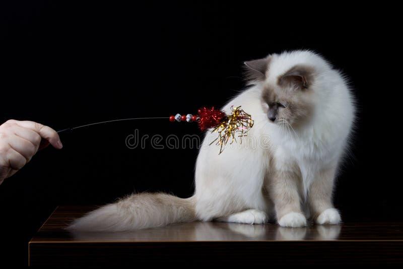 Langhaariges Katzenspielen des grauen Weiß lizenzfreie stockbilder