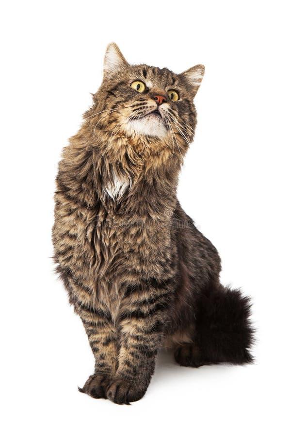 Langhaariges sitzendes oben schauen der Katze der getigerten Katze lizenzfreies stockbild