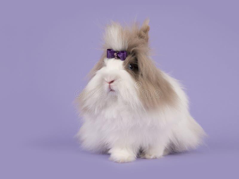 Langharig bruin en wit angora konijn met een purpere boog op een purpere achtergrond royalty-vrije stock afbeelding