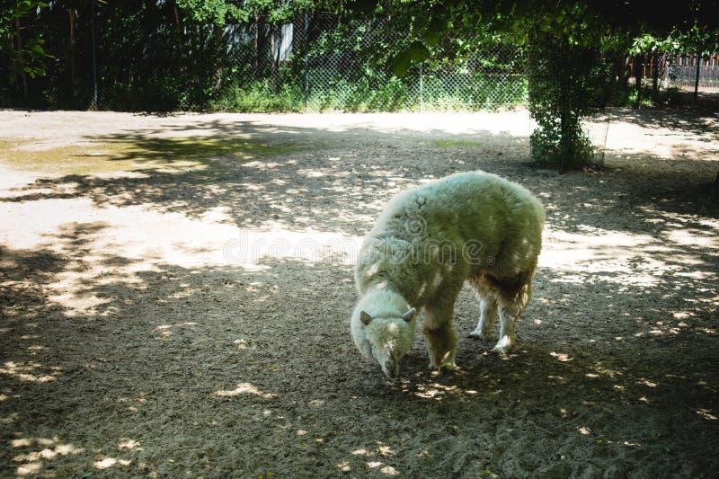Langharige alpaca die in een Russische dierentuin loopt die in de schaduw van bomen weidt voorwaarden om wilde dieren in gevangen stock afbeelding